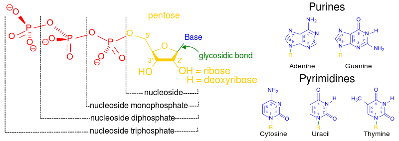 nucleotide structure