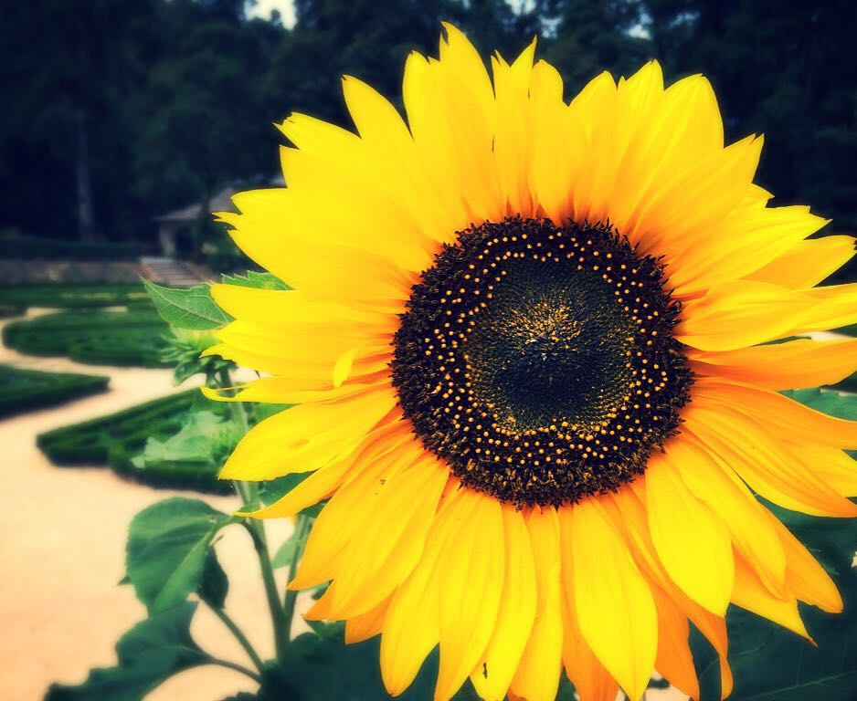 Sunflower_AV