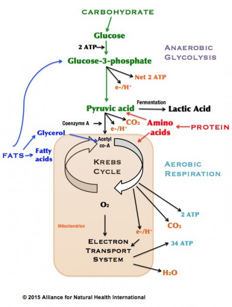 Krebs cycle_ANH