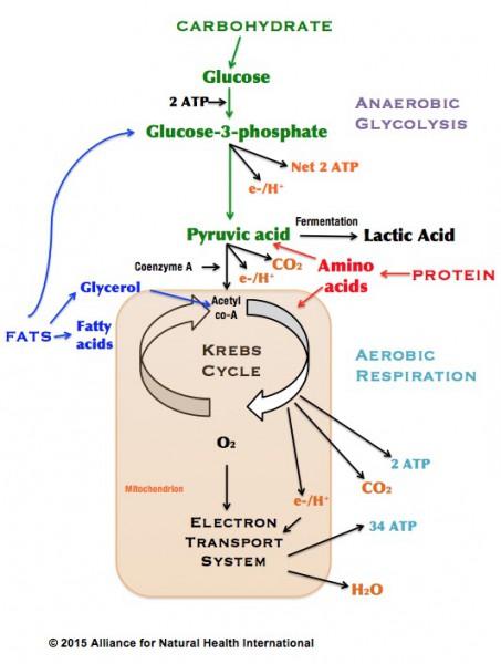 Krebs cycle_ANH