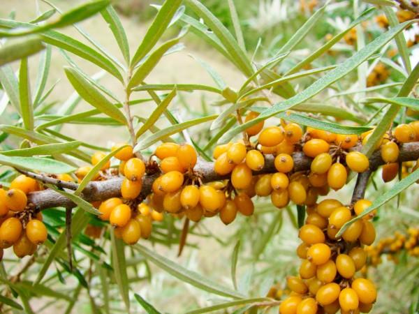 Sea Buckthorn berries