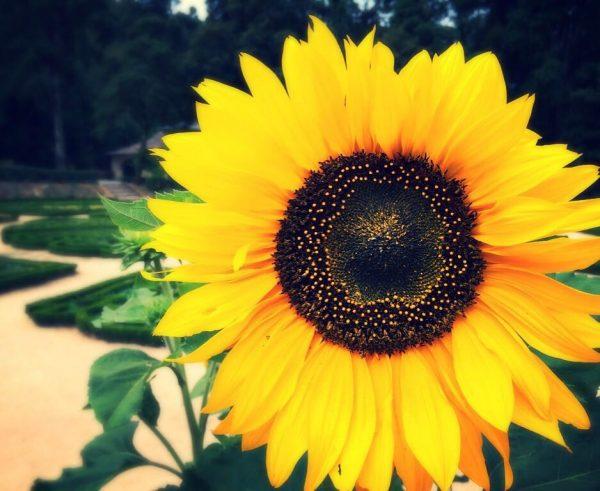 Sunflower_AV