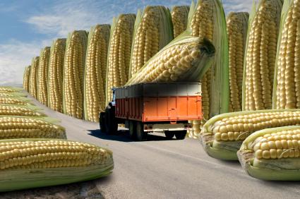 GM, maize, corn, frankenfood